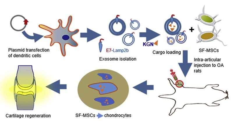 Exosome-Mediated Delivery of Kartogenin
