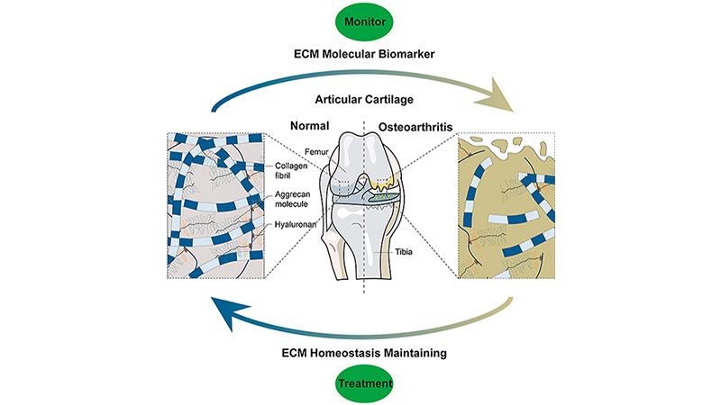 cartilage Extracellular Matrix Homeostasis ecm molecular biomarker